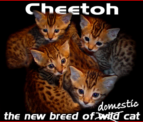Cheeto Cat For Sale